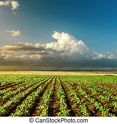 agriculture green field on sunset