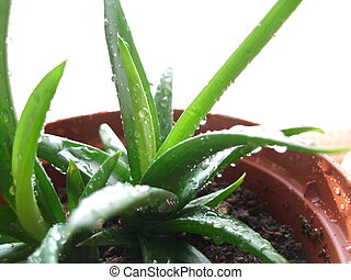 Aloe plant with water drops in the pot close up at home windowsill