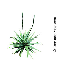 Aloe vera plant with buds