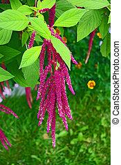 Red decorative amaranth plant in the garden