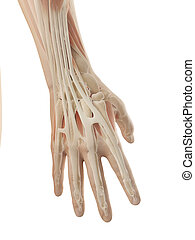 3d illustration of the anatomy of the hand