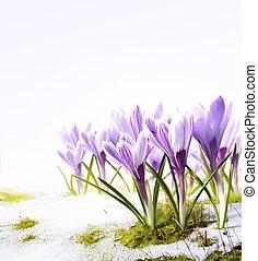 Art crocus flowers in the snow Thaw