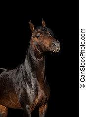 Beautiful bay horse portrait isolated on black.