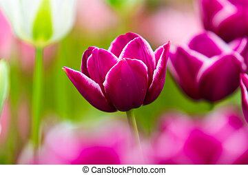 beautiful tulips field. Beautiful spring flowers. background of flowers