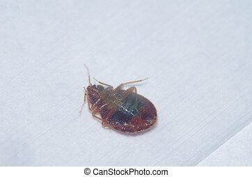 upside-down bed bug