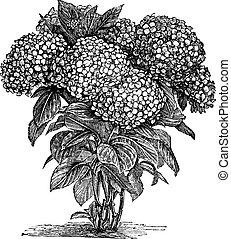 Bigleaf Hydrangea or Hydrangea macrophylla or French Hydrangea or Lacecap Hydrangea or Mophead Hydrangea or Penny Mac or Hortensia, vintage engraving. Old engraved illustration of Bigleaf Hydrangea.