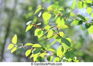 Birch spring foliage