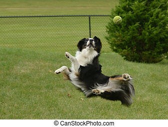 Black Tricolor Australian Shepherd (Aussie) Dog Catching a Ball