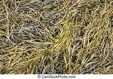 Bladder wrack seaweed background. Fucus vesiculosus