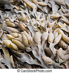 Bladder wrack seaweed
