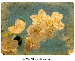 Blooming flower of jasmine. Old postcard.