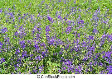 Blue wildflowers in meadow in summer