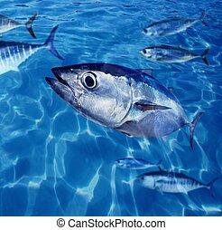 Bluefin tuna Thunnus thynnus fish school underwater