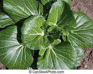 Bok Choy in vegetable garden