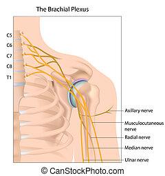 Brachial plexus nerve network, eps10