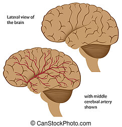 Lateral view of the brain with blood supply shown