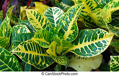 brightly colored leaves closeup of croton indoor plant