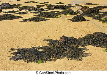 Brown algae (Fucus)
