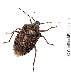 Brown Marmorated Stink Bug isolated on white background, with clipping path (Halyomorpha halys)