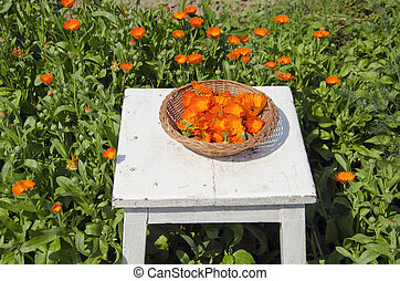 calendula medical herb harvest