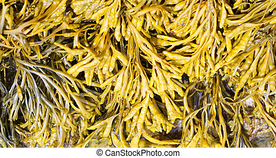Channelled wrack, Pelvetia canaliculata