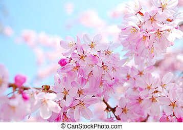 Japanese cherry blossoms during spring, symbolizing the concept of transiency, the short-lived nature, passing of time and other abstract ideas.