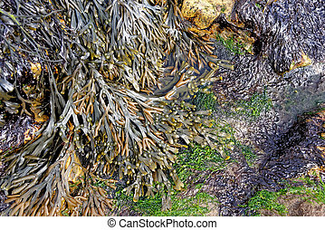 Close up of seaweed covering rocks