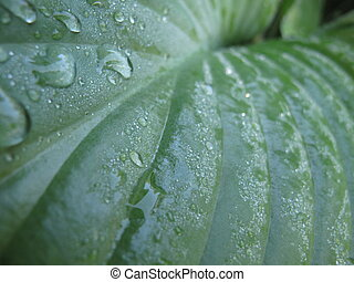 Closeup of wet hosta leaves with dew