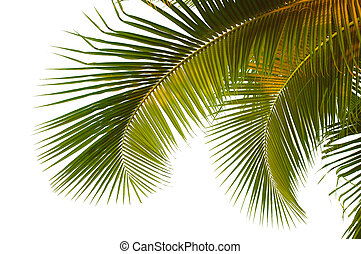 Hanging coconut palm fronds from Thailand with clipping path