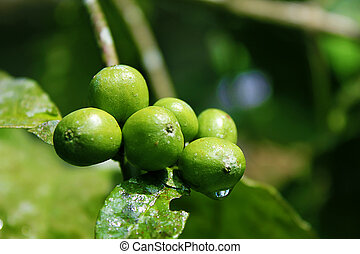 Coffee beans on plant