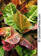 Croton Leaves