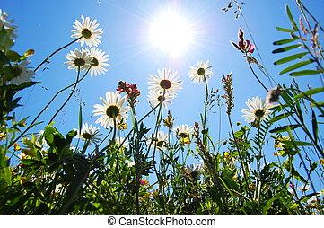 daisy flowers in summer under blue sky from below