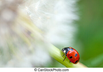 Close-up of a Dandelion and a red lady bug