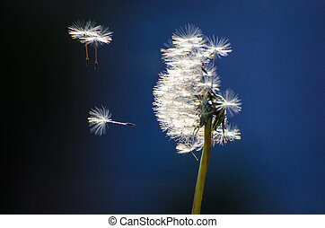 Dandelion seeds abandoning the head in the breeze