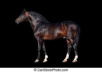 Dark bay horse - isolated on black