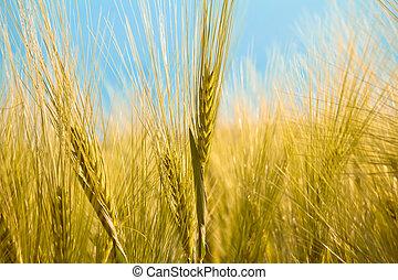 detail of organic yellow summer grains