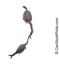 Dried seaweed fucus on a white background
