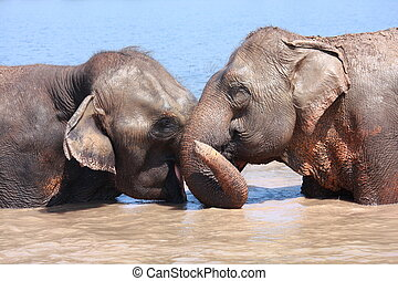 Two elephants show good relationship of each others in pond