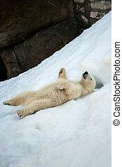 Small polar bear cub having fun on a snow