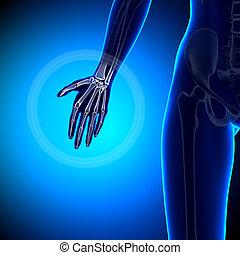 Female Hand - Anatomy Bones