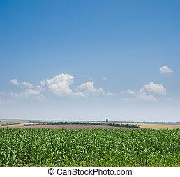 field with green maize under deep blue sky