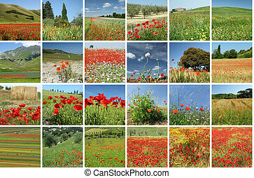 flowering poppies collage