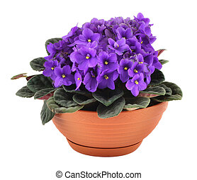 fresh violets in pot isolated on white background,