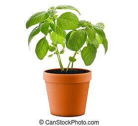 Fresh Basil Plant In A Pot