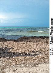 Fucus vesiculosus. Beach with old algae.