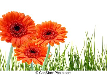 grass and gerbera daisy flower with copyspace for a text message