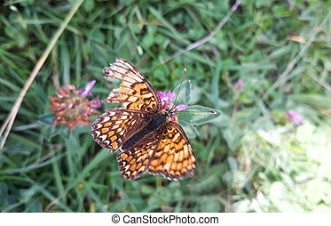Great Spangled Fritillary butterfly with colorful orange patterned wings sips nectar from wildflowers in meadow