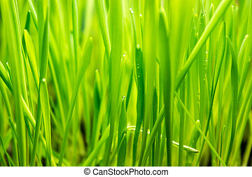 Green grass with drops of dew