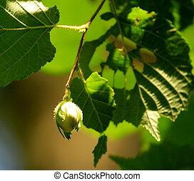 Green hazelnuts in the tree