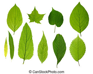 Green tree leaves summer nature collection isolated white background